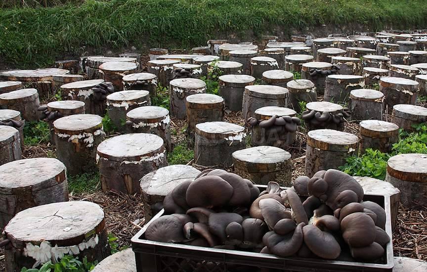 Выращивание грибов в условиях 52