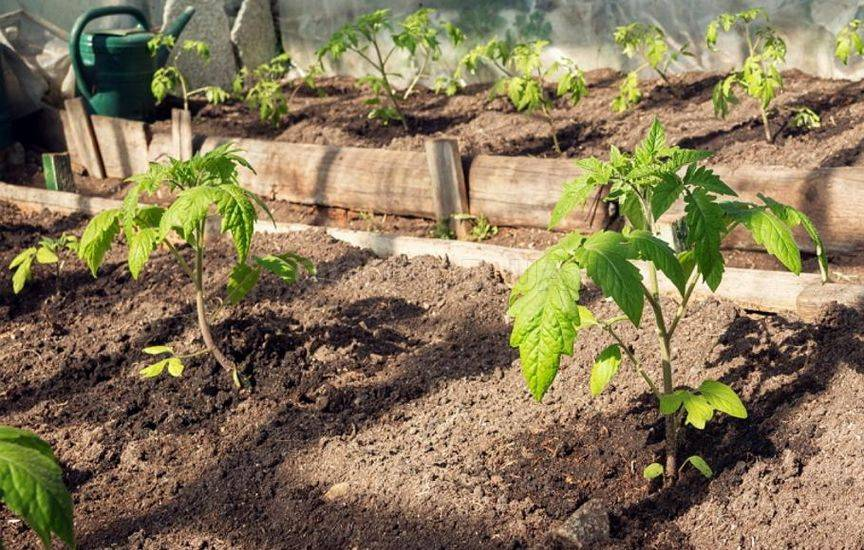 Как вырастить рассаду помидоров для теплиц 905
