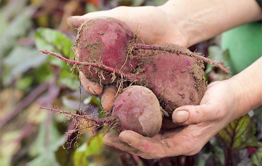 Свекла: как получить хороший урожай