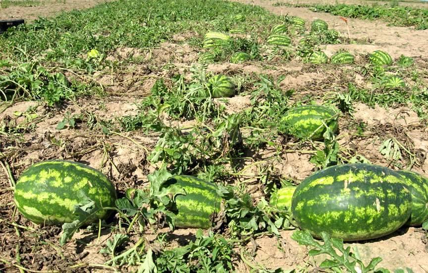 Выращивание арбуз и дыни 30