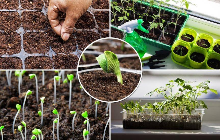 Подготовка семян кабачков к посеву на рассаду в домашних условиях 74