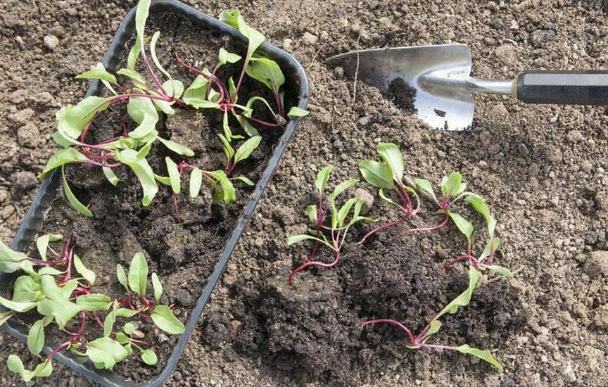 Как вырастить рассаду свеклы