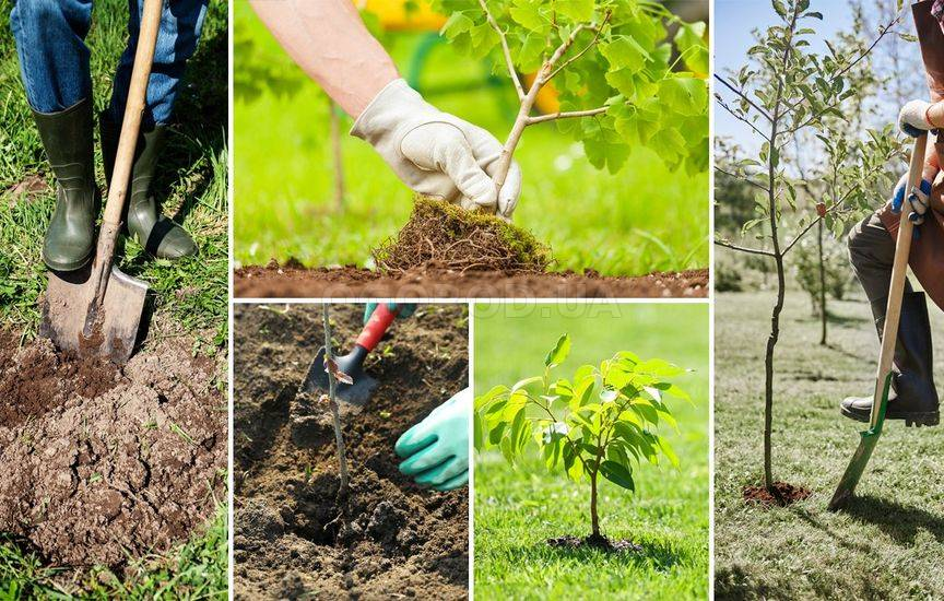 Можно ли осенью сажать саженцы деревьев 78