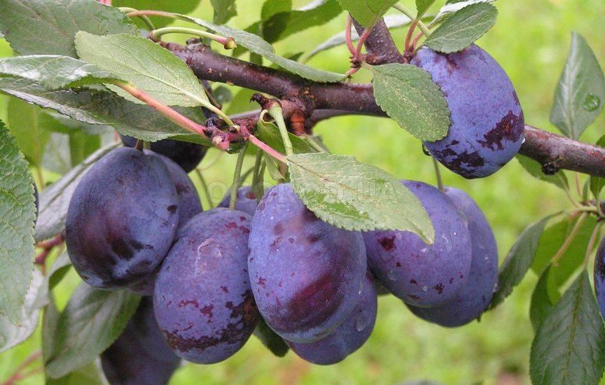 Интенсивное выращивание сливы 65
