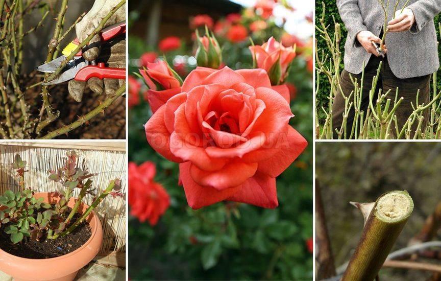 Обрезка домашней розы весной