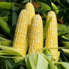 Семена кукурузы сахарной «Брусница»