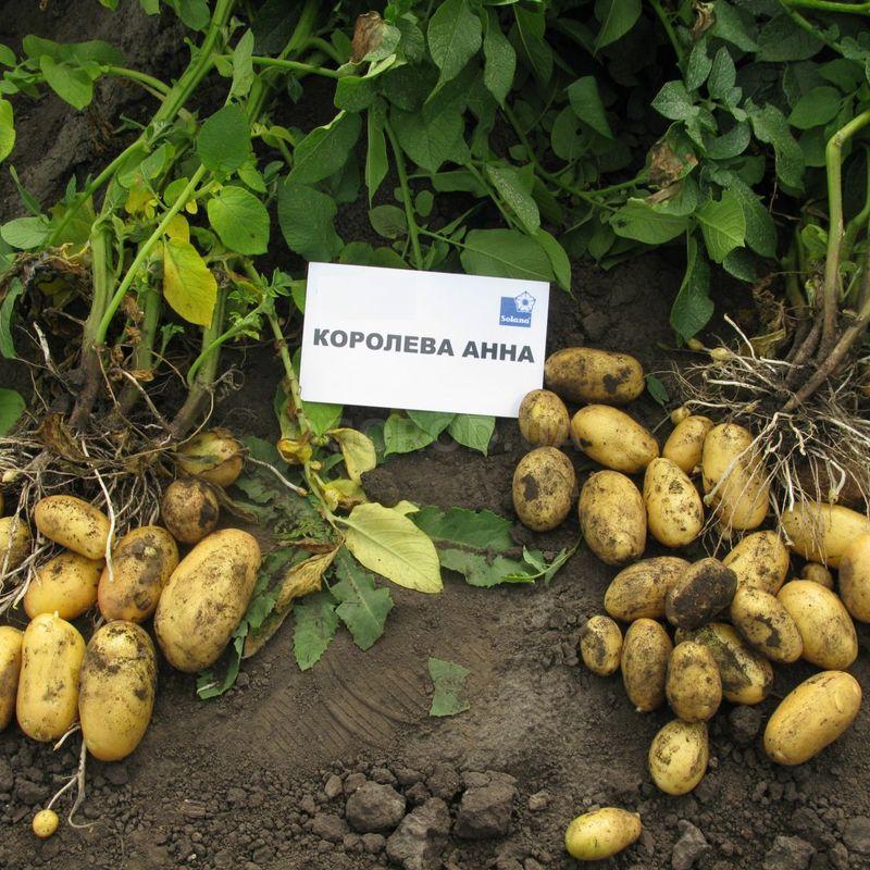"""Картофель """"Беллароза"""": описание сорта, характеристики """"белой розы"""", как правильно выращивать картофель"""
