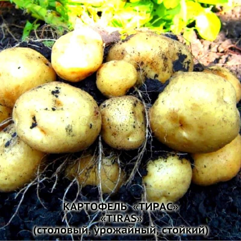 Сорт картофеля тирас характеристика