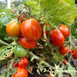 Семена томата «Тигеретта черри красная»
