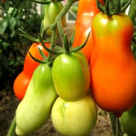 Семена томата «Scatolone 2» (Скаталоне 2)