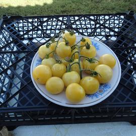 Семена томата «Gnoccia di Limone» (Гноссия ди Лимоне), серия «От автора»