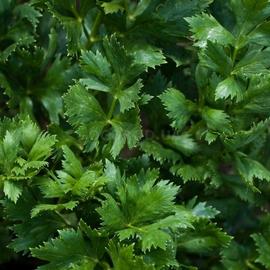 Сельдерей листовой «Нежный»