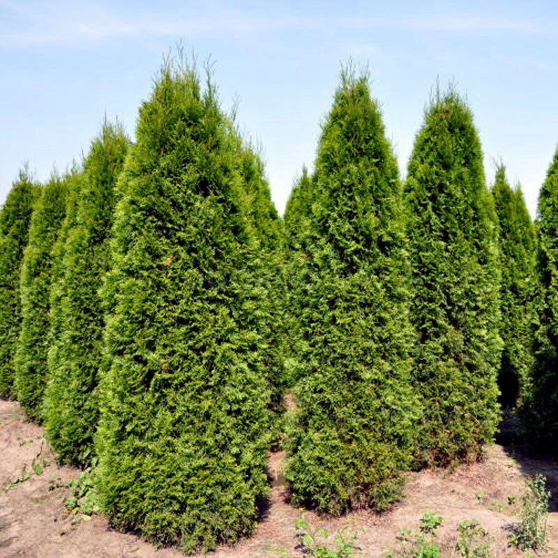 Семена туи западной колоновидной / Thuja occidentalis columna, ТМ OGOROD - 100 семян