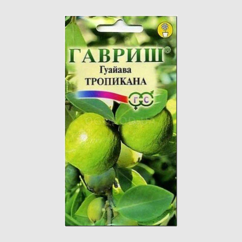 Тропическое растение семейства Миртовые, в комнатных условиях гуайаву...