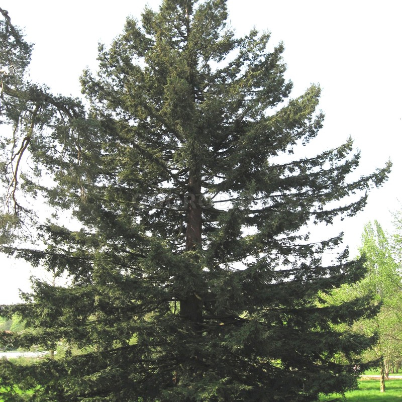 Семена секвойи вечнозелёной / Sequoia sempervirens, ТМ OGOROD - 10 семян