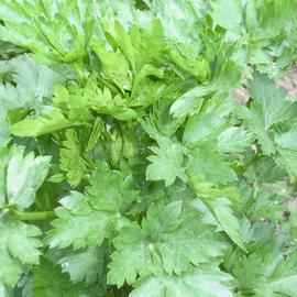 Семена петрушки листовой «Карнавал»