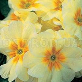 Семена примулы «Роксет» / Roxet Pastel Yellow, ТМ «Kitano Seeds» - 5 семян