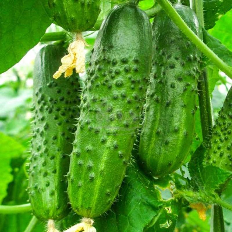 Семена огурца «Нежинский»
