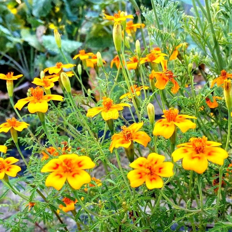 Семена бархатцев узколистных «Оранжевый гном»