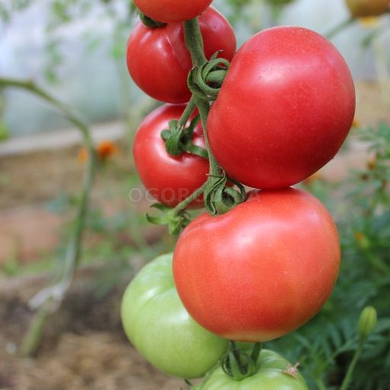 Томат лихач вилс: помидоры дворцовые отзывы
