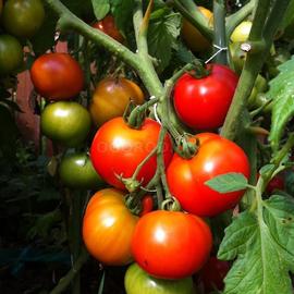"Семена томата ""Вождь краснокожих"""