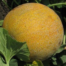 Семена редиса «Анабель»