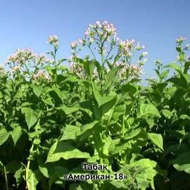 Купить табак семена оптом изменения в торговле табачными изделиями