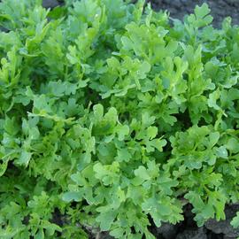 """Семена салата """"Мереживо"""""""