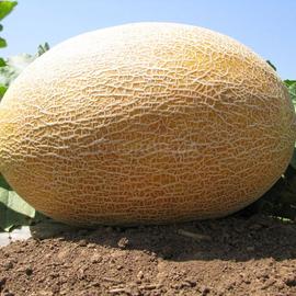 Семена дыни «Амал»